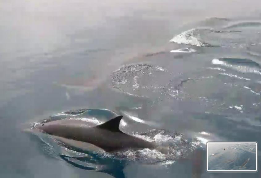 דולפינים בשמורת אבטח מול חופי אשדוד וניצנים. צילום: צילום עדי רן אורט ימי אשדוד