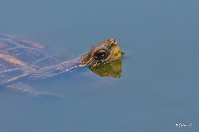 צב ביצות. צילום: קובי בן אלי