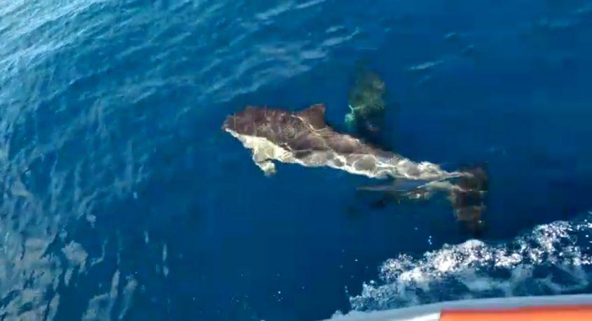 דולפינים מול חופי אשדוד-ניצנים. צילום: דרור ורדימון, מנהל המרכז לחינוך ימי אשדוד