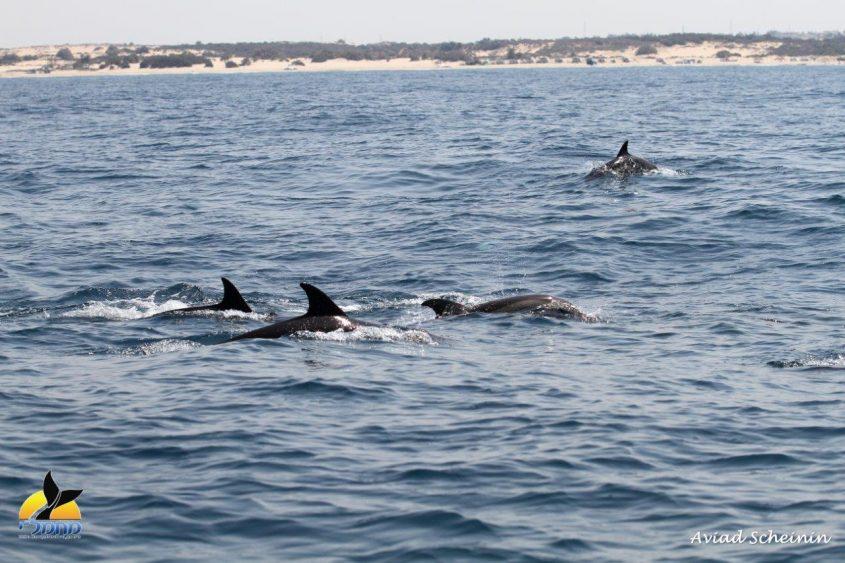 """אבטח: להקת דולפין מצוי בשמורה המתוכננת. צילום: ד""""ר אביעד שיינין, מחמל""""י ואוניברסיטת חיפה"""