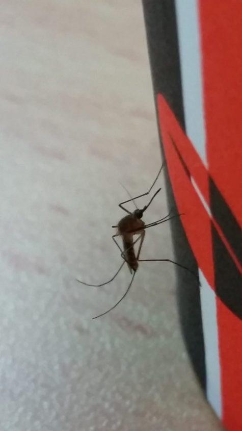 יתוש הקולקס - הגר סבטי רשות הטבע והגנים