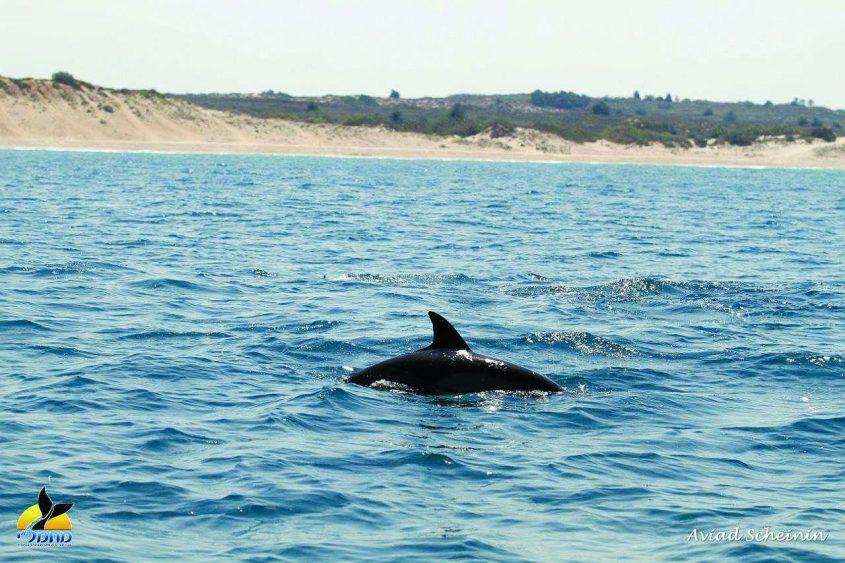 """דולפין מצוי מערבית לשמורת אבטח-ד""""ר אביעד שיינין, מחמל_י ואוניברסיטת חיפה"""