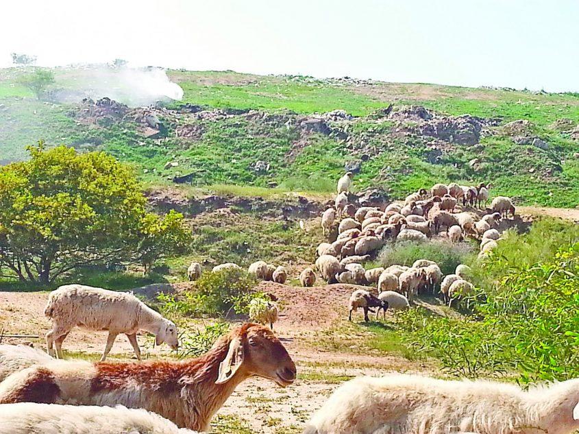 ארכיון: עשן עולה ממטמנת רתמים ועדר כבשים רועה במקום. צילום: דור גפני
