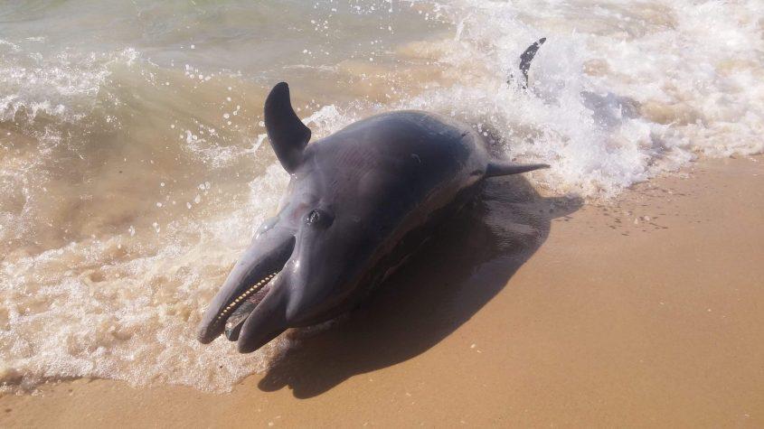 """הדולפין המת בחוף י""""א. צילום: אבישג פריש"""