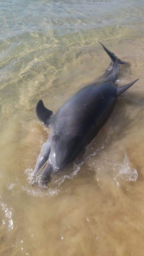 """דולפין מת בחוף י""""א. צילום: אבישג פריש"""