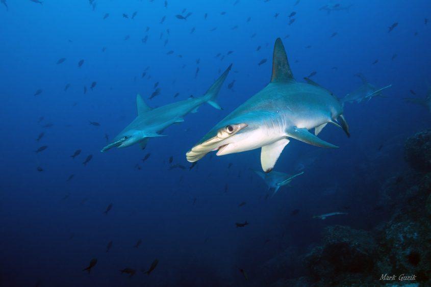 כרישים. צילום: מארק גוזיק