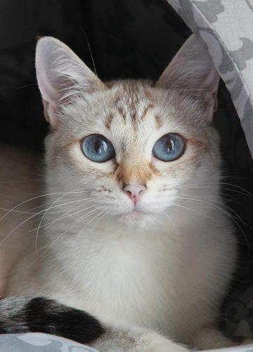 חתול תאילנדי צילום: אנסטסיה בלינובה