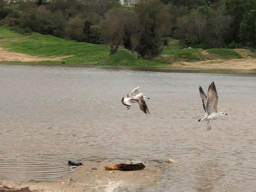ציפורים בבריכת החורף שנוצרה ליד חוף הקשתות. צילום: שמואל דוד