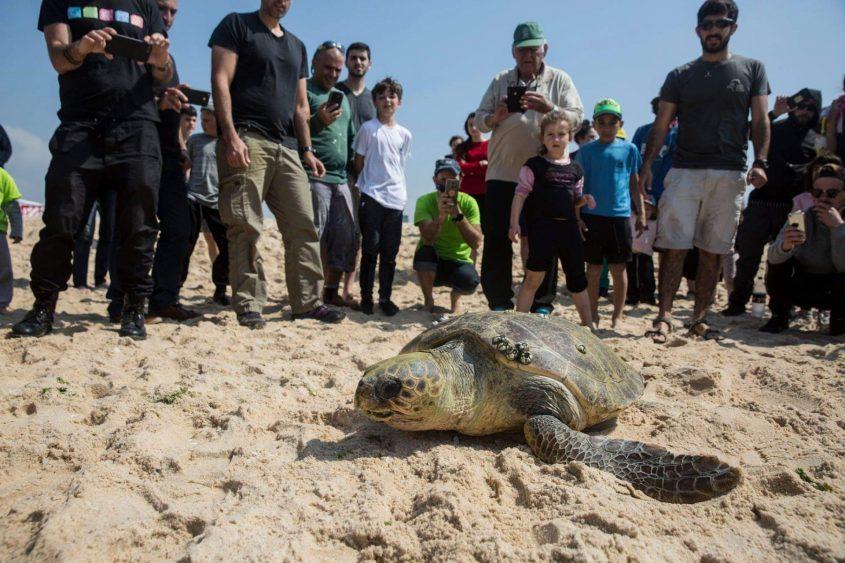משחררים צבים לים בחוף ניצנים. צילום: heidi levine