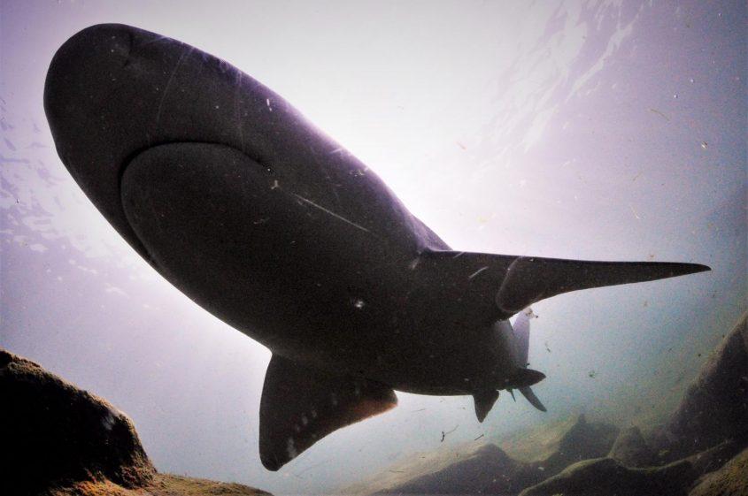 לא לפחד. כריש סנפירתן בחופי אשדוד. צילום: רן גולן – Out Of The Blu