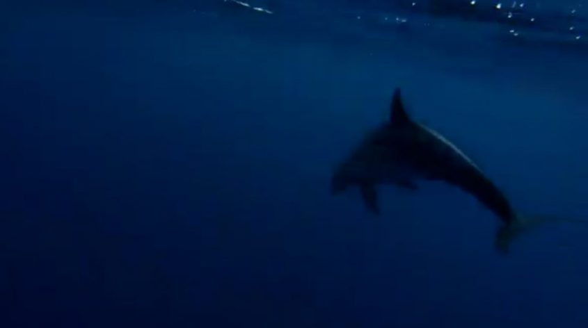 ממעמקים. דולפינן מצוי. צילום: גיא לויאן