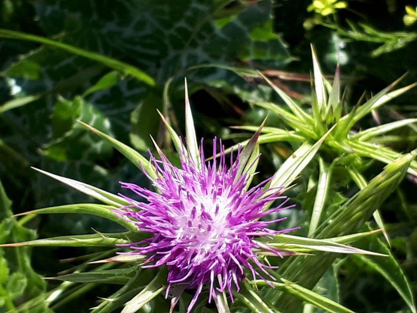 פרח קוץ הגדילן. צילום: דור גפני