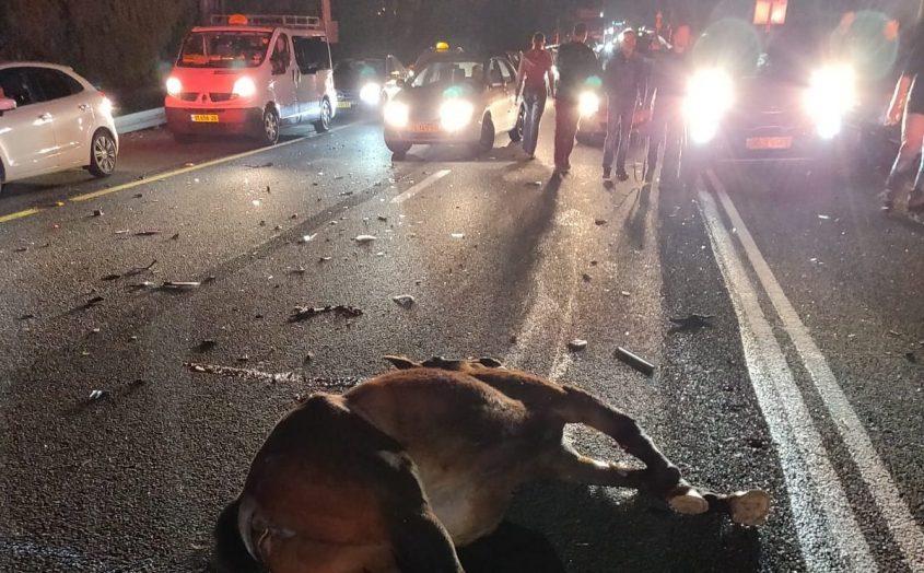 הסוס ההרוג מוטל על הכביש. צילום: דוברות כבאות והצלה אשדוד