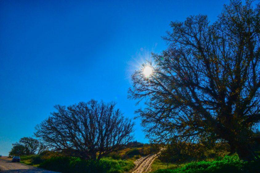 עצי שקמה בחולות אשדוד. צילום: אורי קריספין