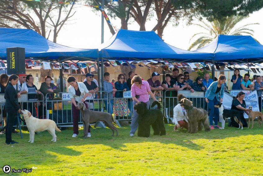 תערוכת כלבים בינלאומית בכנות צילום: יגאל פרדו