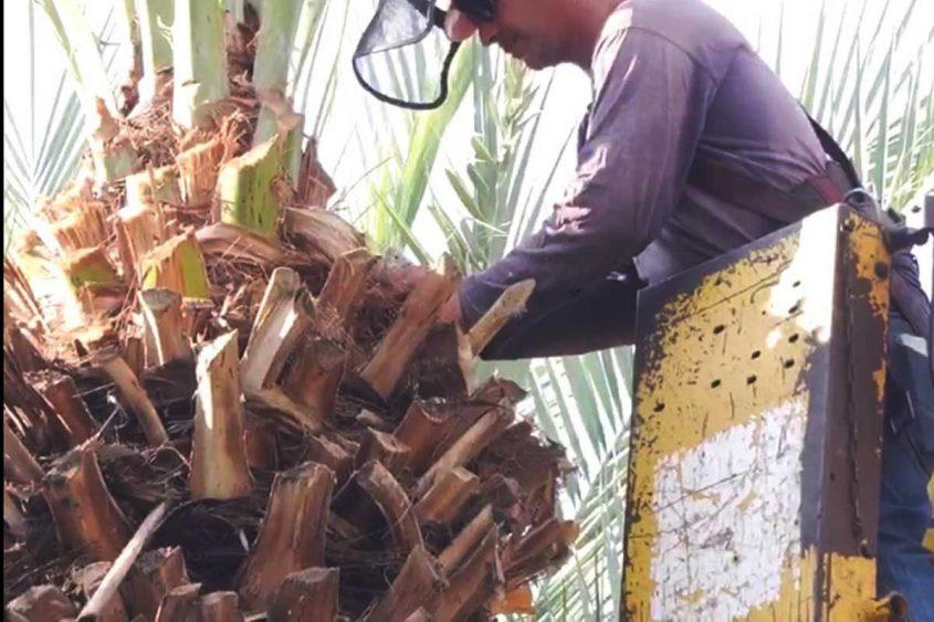 נאבקים בחדקונית. עובד מטפל בעץ תמר. צילום: דוברות עיריית אשדוד