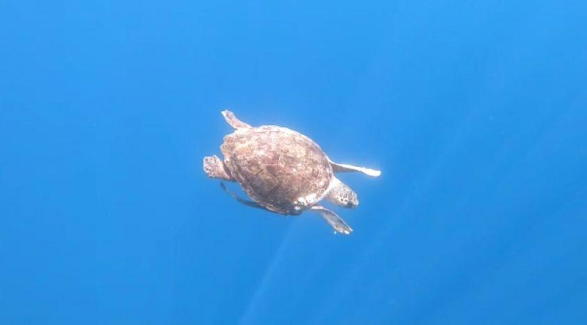 צב ים מתוך סרטון שצילם אביתר בן אבי רשות הטבע והגנים
