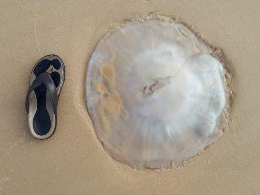 מדוזה ענקית על החול בחוף הים באשדוד. צילום: דור גפני