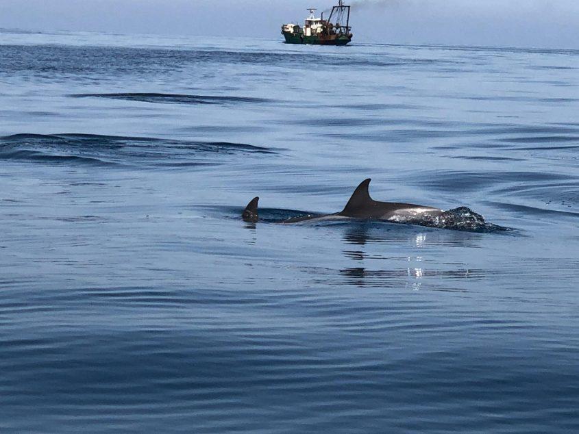 דולפינן. צילום: רפאלה בביש, מנהלת תחום חינוך, מרכז הדולפין והים