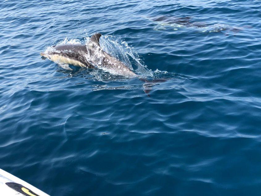 דולפין מצוי. צילום: רפאלה בביש, מנהלת תחום חינוך, מרכז הדולפין והים