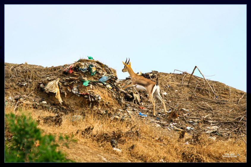 טבע מול לכלוך מתוצרת אנושית: צבי ארצישראלי באשדוד. צילום: נעם ארון
