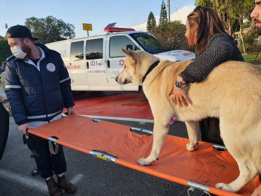 """כלב נפגע ממכונית – ופינה עצמו לתחנת מד""""א בגן יבנה"""