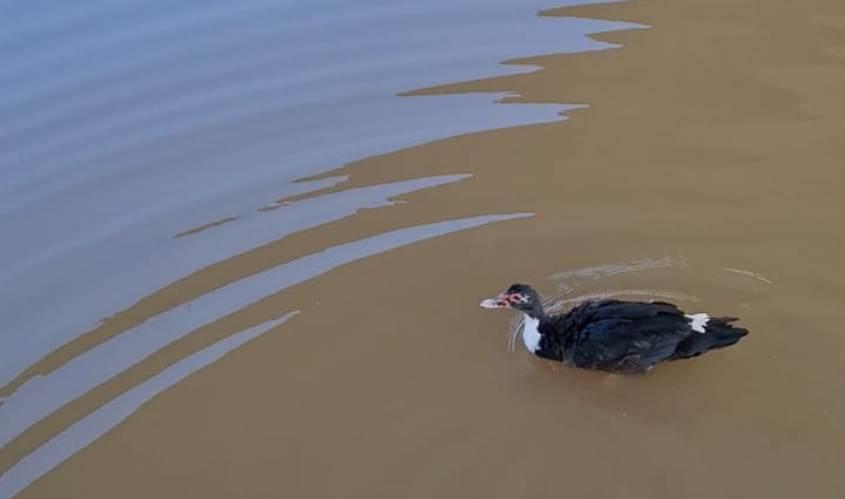 הברווז בנחל לכיש. צילום: קובי כהן ודרור אבוקסיס