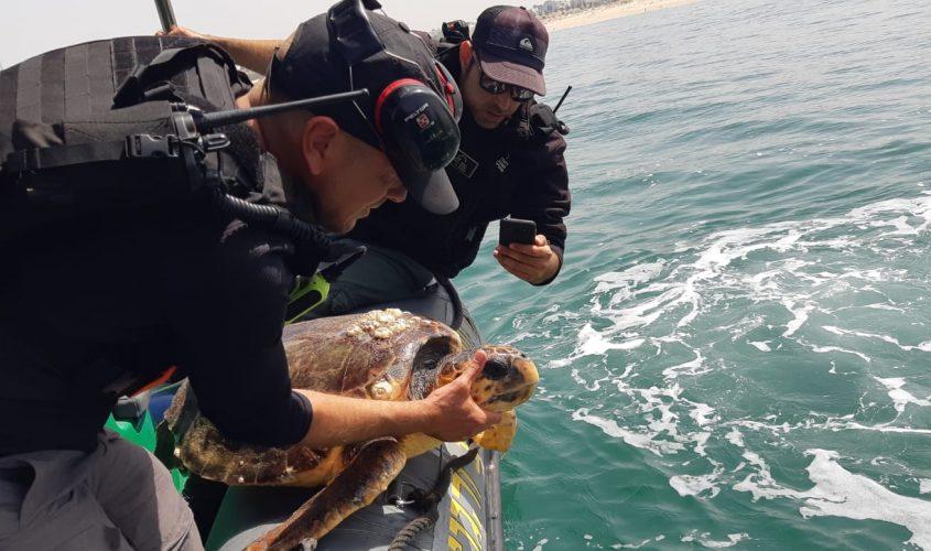 """אחד הצבים שנמצאו היום. צילום: זיו בירמן, רט""""ג"""
