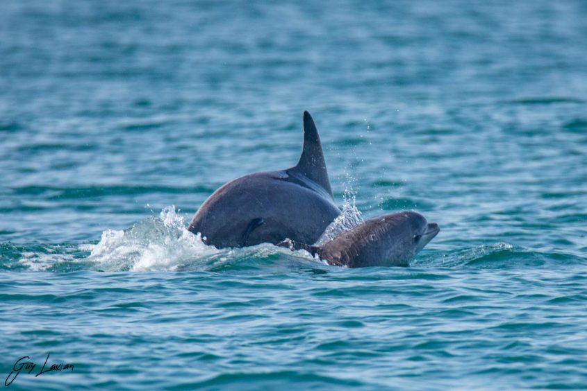 הדולפין שמת היום ואמו לפני מספר ימים. צילום: גיא לויאן