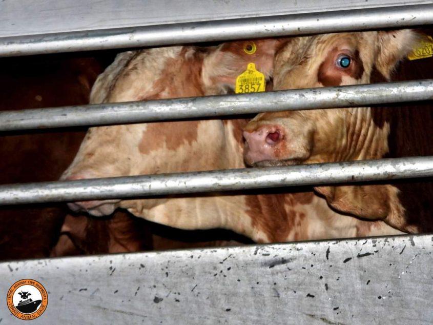 הובלת בעלי חיים. צילום: ישראל נגד משלוחים חיים